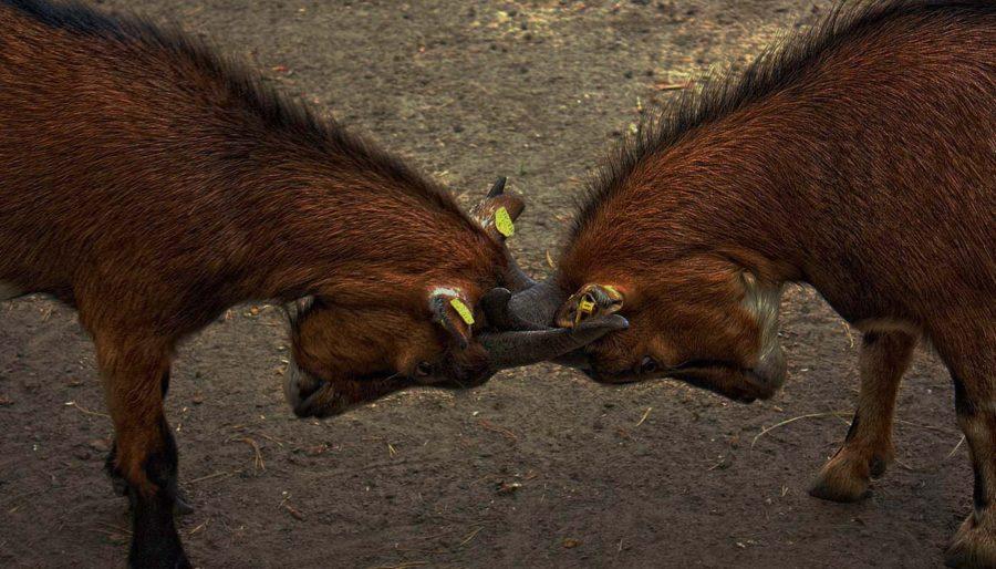 goat_fighting-horns-150x150.jpg-900x514